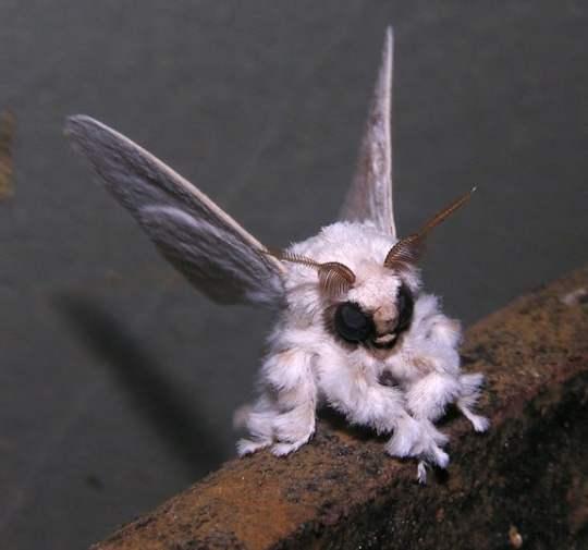 Weird Insects Around The World, Venezuelan Poodle Moth