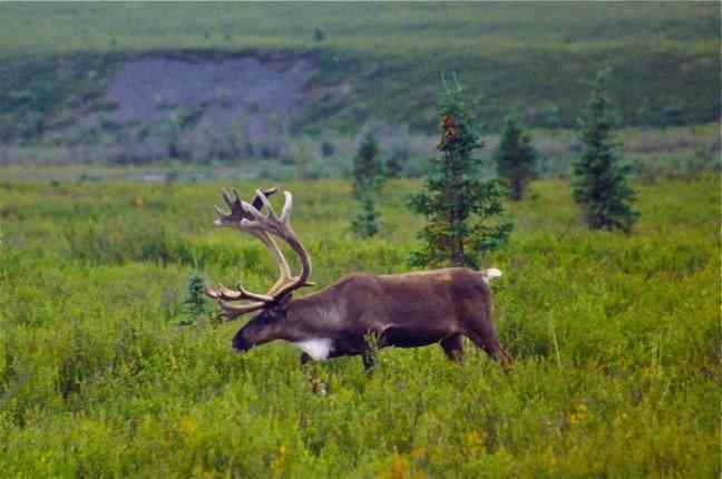 Caribou in Denali National Park, Alaska