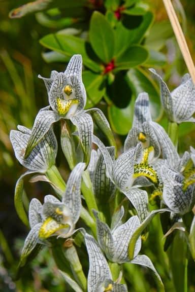 Porcelain Orchid in Torres del Paine National Park