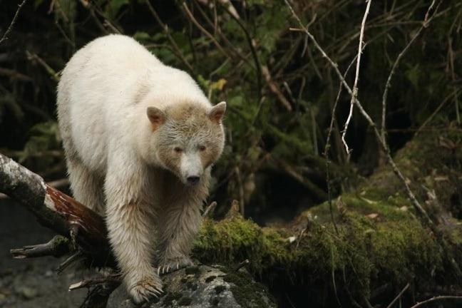 Spirit Bear in British Columbia's Great Bear Rainforest