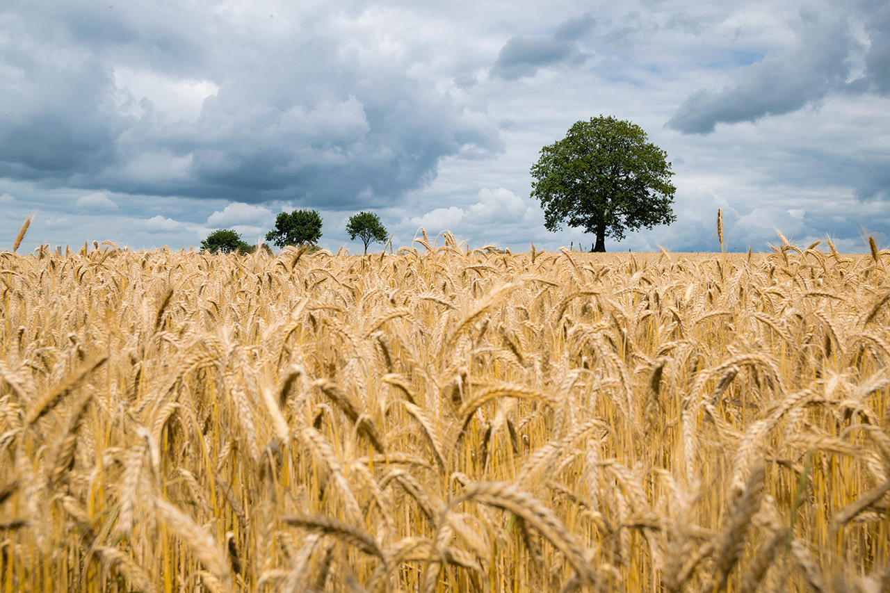 Field of wheat in Bergisches Land, Germany. Photo by Kai Pilger on Unsplash