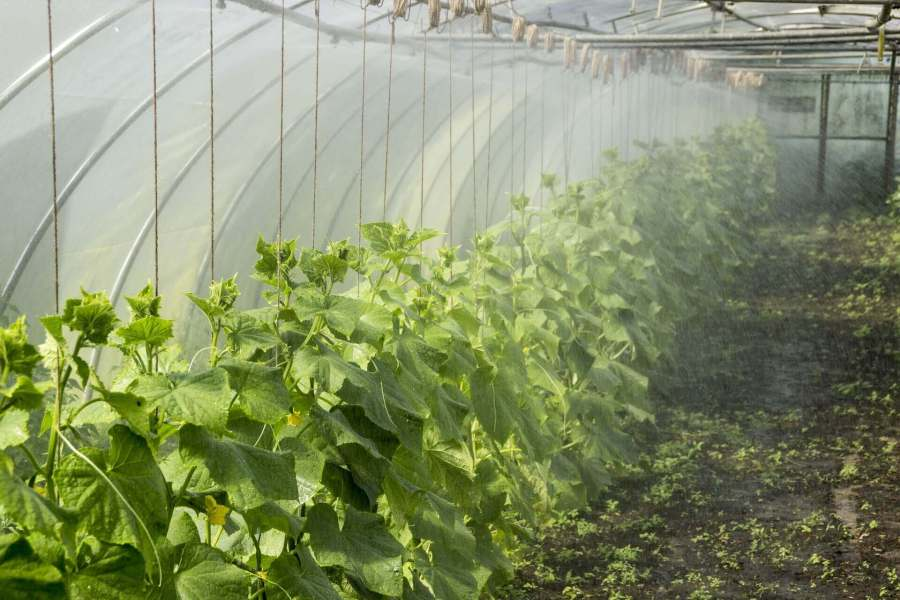 How to increase the humidity of greenhouse: increasing the humidity of the greenhouse is fairly simple, you can increase the humidity of your greenhouse using humidifiers and watering the plants in the day and night to make the greenhouse moist which. these water vapors will evaporate causing the humidity in the greenhouse to rise