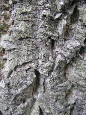 Ягоды бархатного дерева польза и вред. Применение в народной медицине. Как помогает амурский бархат от диабета и есть ли эффект
