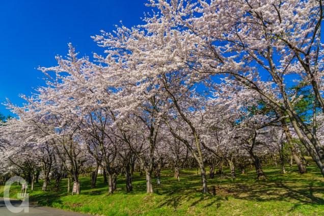 桜林公園のソメイヨシノ