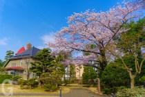 藤田記念庭園の桜