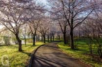 富士見湖パークの桜