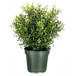 Argentia-Plant-with-Green-Pot-0