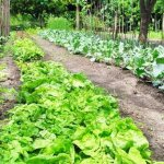 Heirloom-Vegetable-Seeds-Non-GMO-seeds-Non-Hybrid-Easy-to-Grow-0-1