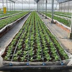 50-Meters-Garden-Drip-Tape-Watering-System-Flat-Streamline-Soaker-Hose-02mm-thickness-300mm-Space-0
