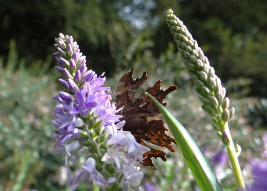 Comma butterfly - white comma visible on underside of wing