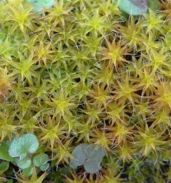 Great Hairy Screw-moss
