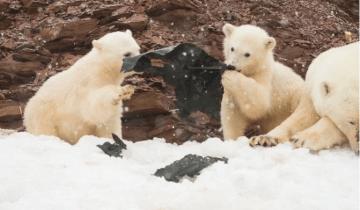 Πολικές αρκούδες μασούν πλαστικό σε απομακρυσμένο νησί