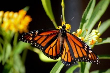 NRDC Petitions EPA to Save the Monarch Butterfly