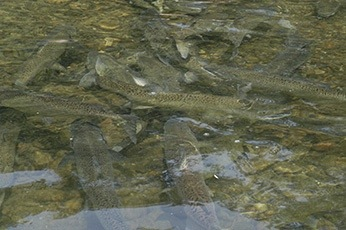 Nature Conservancy Urges Protection of Flows for Fish in Delta