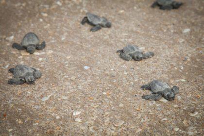 oceana sea turtles