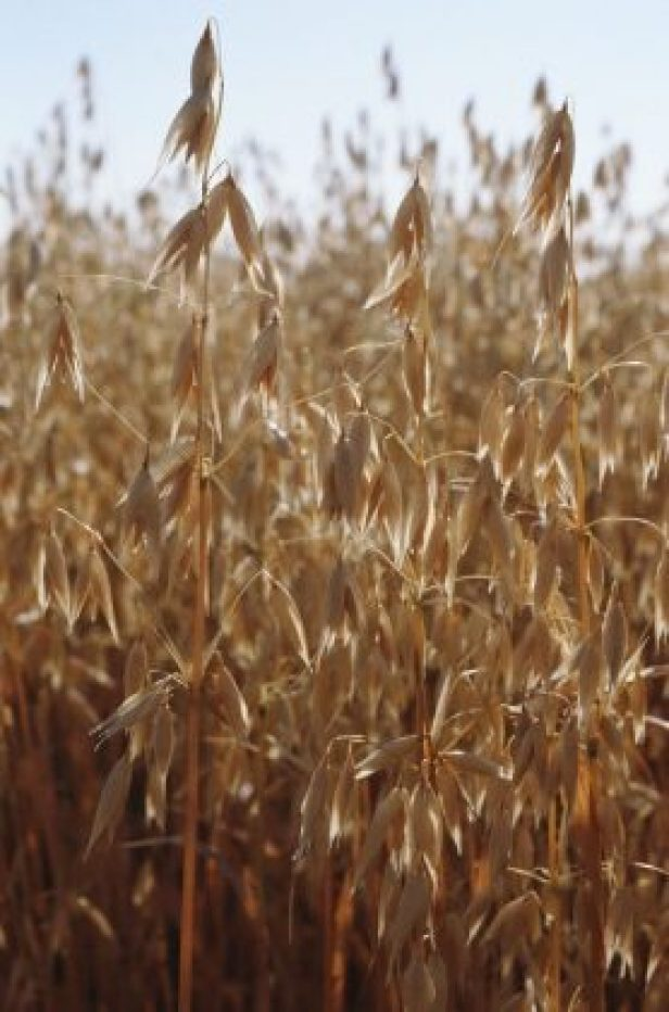 Cascadian Farm invests in soil health research across organic oat supply chain with Grain Millers