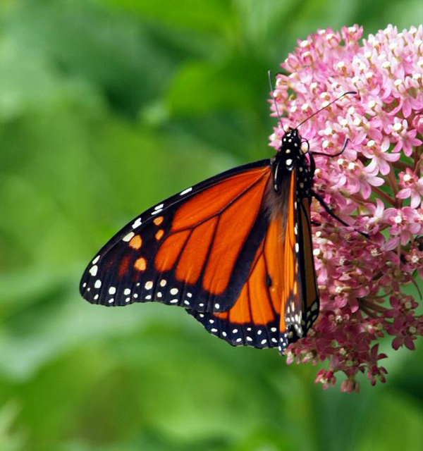 Pollinator-Friendly Plants for a Bee-Friendly Garden - Including pollinator-friendly plants in your garden attracts bees, butterflies, hummingbirds, beetles, and bats to provide fruits and seeds.