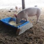 Cheap Pig Equipment