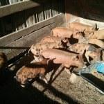 Piglet Processing