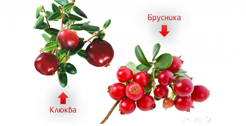 Брусника где растет в России? Брусника: свойства и противопоказания, посадка и уход