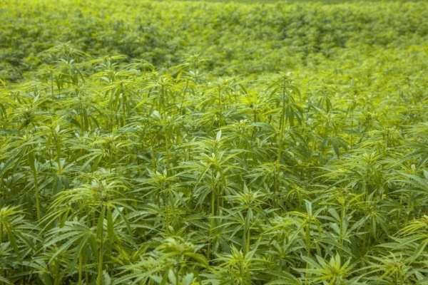 Why a saturated marijuana market is leading some Oregon growers to pivot to hemp