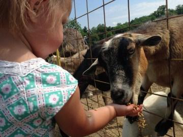 Green Meadows Petting Farm Goat Feed