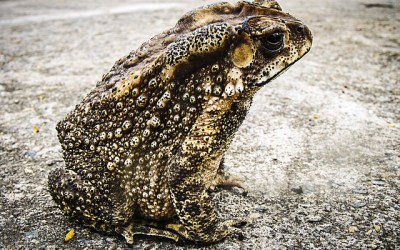 Toad