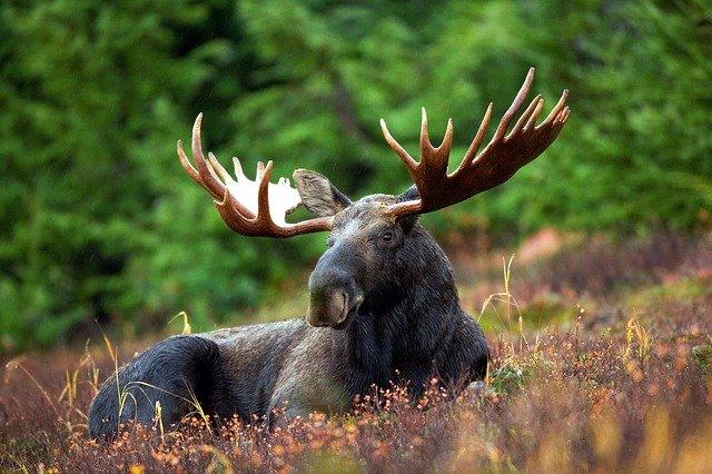 Tangled Moose