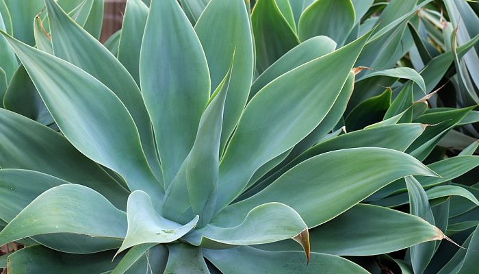 agave opt