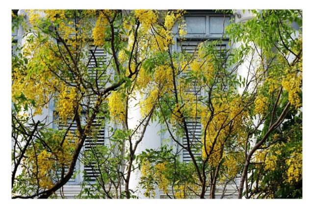 The Golden Shower Tree (Cassia fistula) or Amaltas is symbolic of Vishu