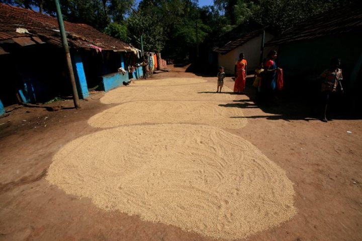 Grain is spread out to dry in a Paraja village