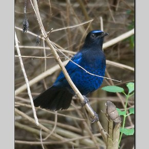 Encounter: Malabar Whistling Thrush