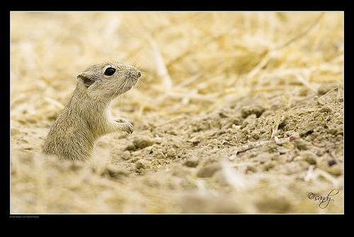 Indian Desert Jird (Meriones hurrianae)
