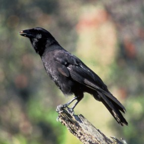 Can crows become extinct?