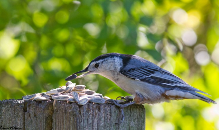 White-bellied Nuthatch