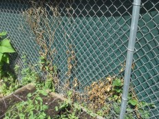 Barely any more invasives on the fence