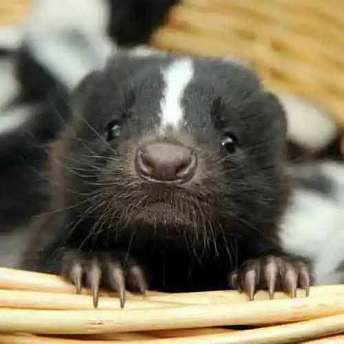 baby skunk face
