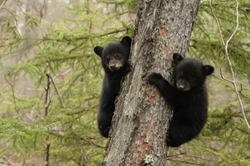 baby black bears in tree