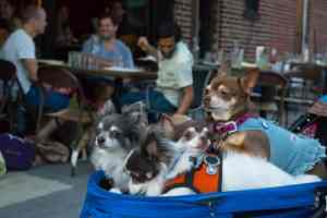 Carriage full of Chihuahuas after a delicious night out at Mrs. Kim's