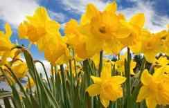 daffodils_bushwickinletpark