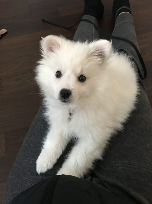 American Eskimo puppy sits on someone's lap looking at the camera.