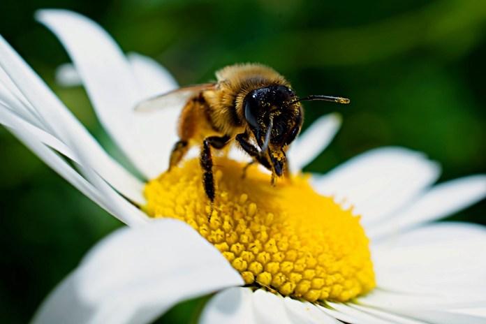 Pszczoły i zapylacze zagrożone na całym świecie, w tym w Europie Zachodniej