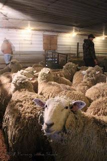 sheep shearing 4