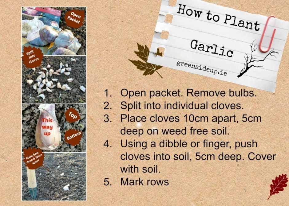 How to Grow Your Own Garlic - Step by Step Guide