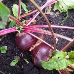 Beetroot - an in season favourite on the Step House menu