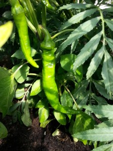 Feeling Hot? A Greenside Up Seed Gift Collection Chilli