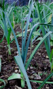 3 essentials to help you grow your own leeks