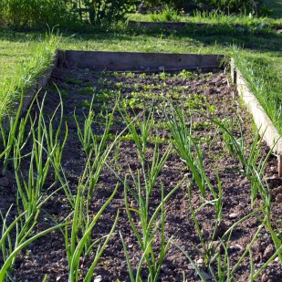 Onions and parsnip seedlings