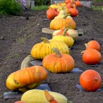 Cooking Pumpkins in the Community