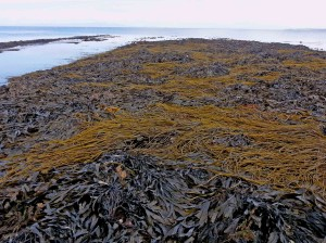 Seaweed - a new kind of edible or a centuries old secret?